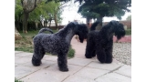 Camada 3i. Kerry Blue Terrier. Geisha y Purito.