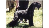 Kerry Blue Terrier. Humo de La Cadiera at Maloa.