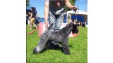 Kerry Blue Terrier. Corben Dallas de La Cadiera. .