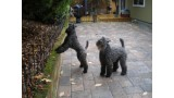 Kerry Blue Terrier. Lolita y Ferbane