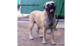 Bullmastiff. Tuffnell Lady Hawk.