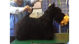 Scottish Terrier. Sir Treysas Von Tinsdal.