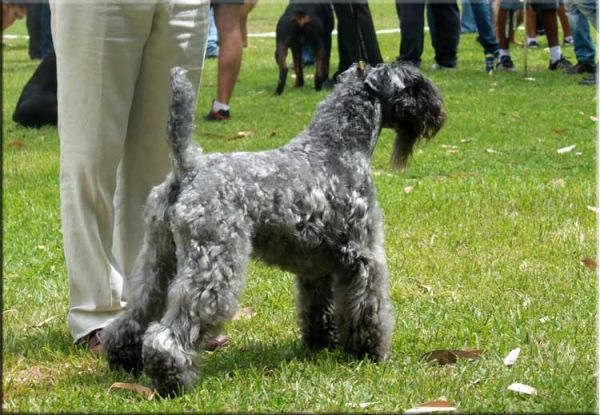Kerry Blue Terrier. Ch. Dinnyesvarosi Heves at La Cadiera.
