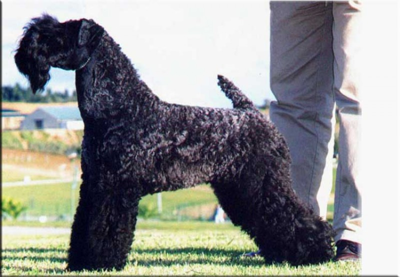 Kerry Blue Terrier. Ch. Ibiut Prays Blue at La Cadiera.