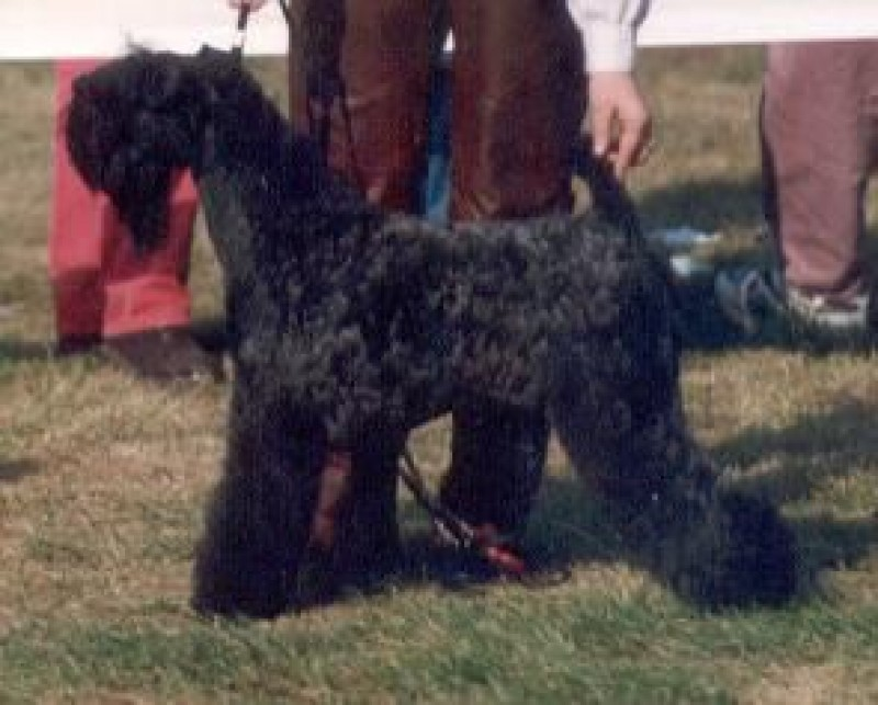 Ch. Louisburgh She´s Cute. Kerry Blue Terrier. Ch. Louisburgh She