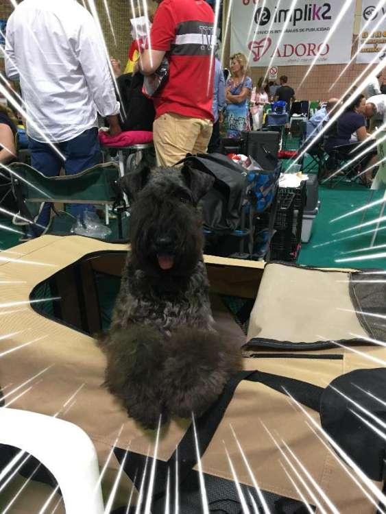 La pequeña Karen empieza a despuntar !!!. La Cadiera Karen - M.B. 1ª-B.O.B. Mejor Cachorro..