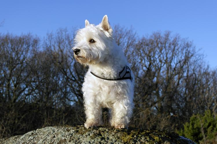 Como es la raza de perro West Highland White Terrier West Highland White Terrier en la naturaleza