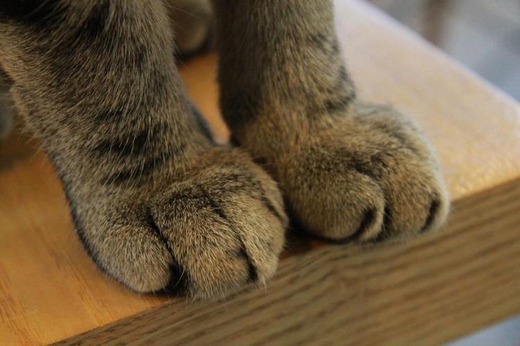 Nueva York plantea prohibir la extirpación de las garras de los gatos.