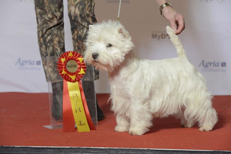 West Highland White Terrier en competición