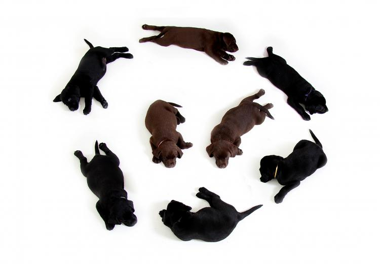 Cachorros de Labrador Retriever color chocolate y negro