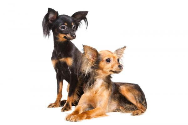 PETSmania - Russian Toy Terrier.