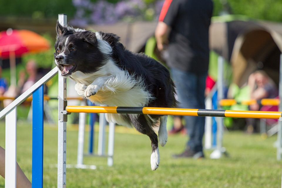 PETSmania - Border Collie. Saltando en agility