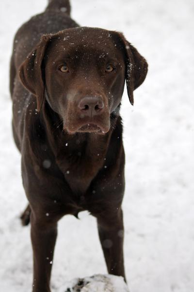 Labrador Retriever adulto color chocolate