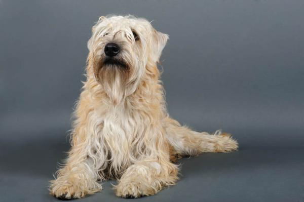 PETSmania - Irish Soft Coated Wheaten Terrier.
