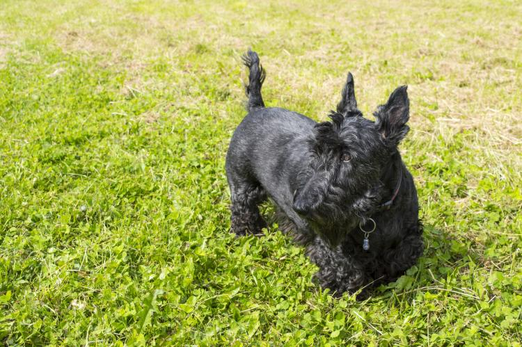 Scottish Terrier negro sobre hierba