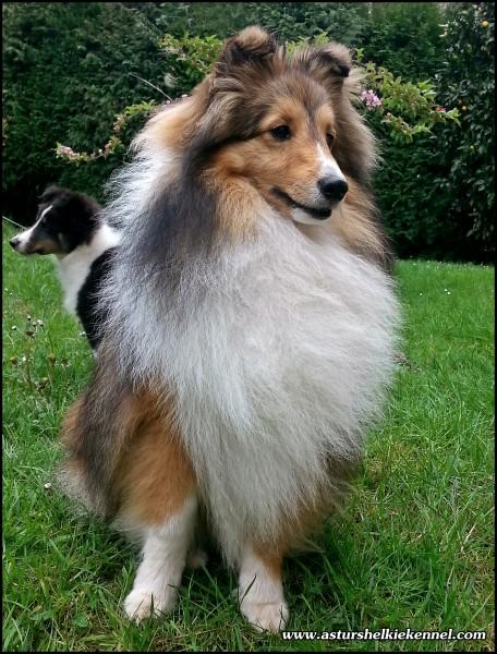 ASTURSHELKIE KENNEL - Shetland Sheepdog. JrCh. PPW14 I´m Small Diamond Lohrien