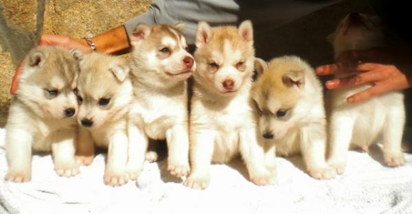 Petsmania Es Mediapets Imagen Siberian Husky Cachorros De Dever