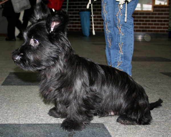 PETSmania - Skye Terrier. Pleple2000