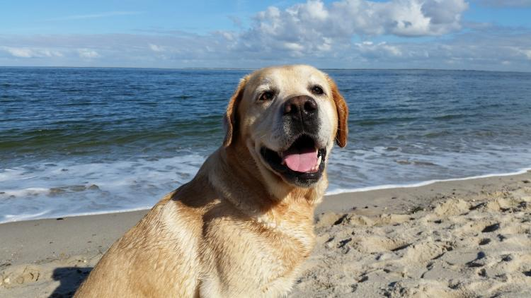 Labrador Retriever color trigo en la playa