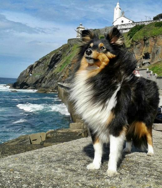 ASTURSHELKIE KENNEL - Shetland Sheepdog. Hildasey You are my Life da Casa Mont´Alves (Timba)