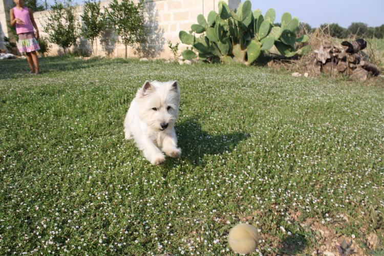 West Highland White Terrier tras pelota