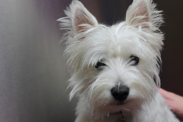 Como es la raza de perro West Highland White Terrier Detalle del West Highland White Terrier