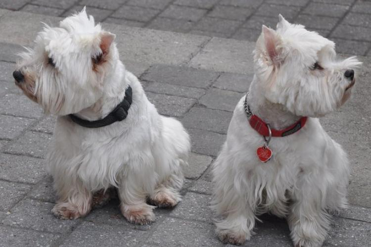 Como es la raza de perro West Highland White Terrier Dps West Highland White Terrier