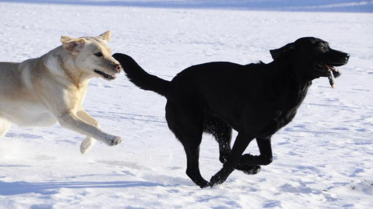 Labrador Retriever. Dos Labradores Retriever corriendo