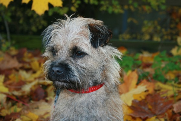 PETSmania - Border Terrier. Flickr user blaner