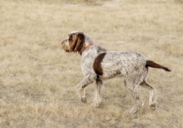 PETSmania - Spinone Italiano.