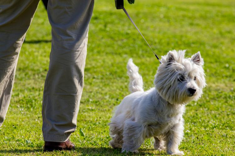 Como es la raza de perro West Highland White Terrier West Highland White Terrier con correa