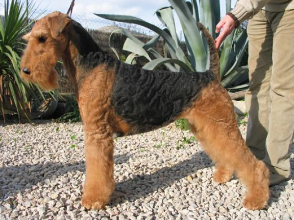 S´ARRACO Airedale - Airedale Terrier. S