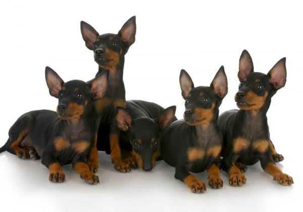 PETSmania - Toy Manchester Terrier.