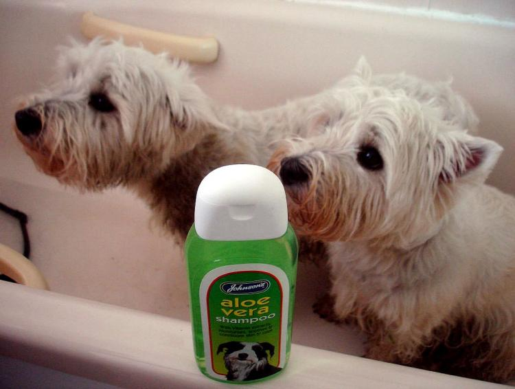West Highland White Terrier en momento del baño