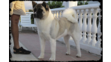 Akita Americano. CHJ. Day dream´s Princess de Canquercus,`Princess´