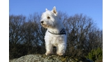 West Highland White Terrier en la naturaleza
