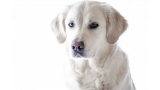 Labrador Retriever color trigo claro