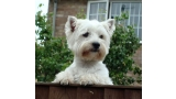 West Highland White Terrier en una valla