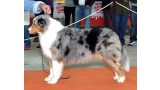Pastor Australiano. Esp Jr Ch. Silver Dream Aussie