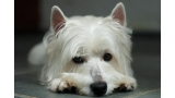 West Highland White Terrier aburrido