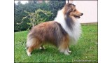 Shetland Sheepdog. JrCh. PPW14 I´m Small Diamond Lohrien
