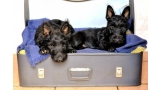 Cachorros de Scottish Terrier negro en maleta