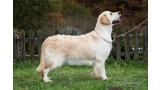 Golden Retriever. Terra Keltica Light My Fire