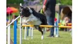 Border Collie. Saltando en agility