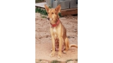 Podenco Andaluz. Brownie.