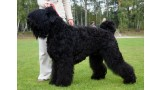 Terrier Negro Ruso. Pleple2000