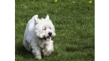 Corriendo West Highland White Terrier