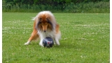 Collie Rough con pelota de fútbol