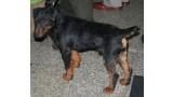 Jagd Terrier. Pleple2000