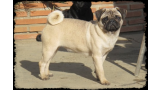 Pug Carlino. Thera de Canquercus